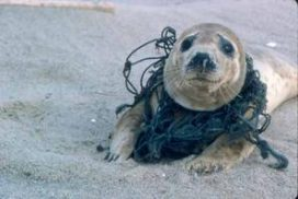 A young seal tangled in fishing line
